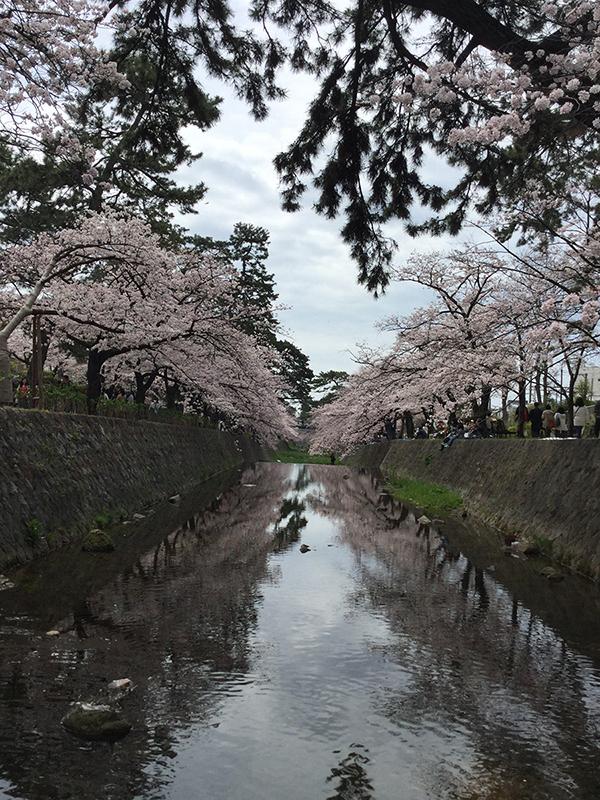 img_2016sakura1_s